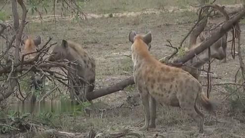 鬣狗蠢蠢欲动,只等狗王一声令下,就冲过去争夺狮子的食物!