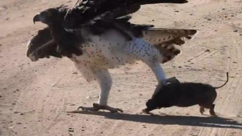 老鹰俯冲而下对大雁发起攻击,本以为胜券在握,不料却被大雁拖进水里