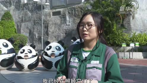 开心的日子——澳门大熊猫饲养员的日常