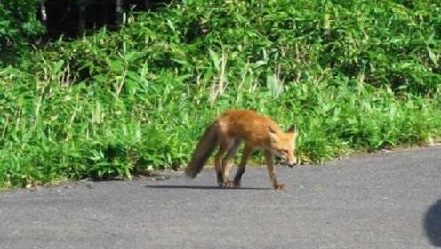 小伙行车途中,遇到狐狸拦车求救,小伙下车后差点落泪