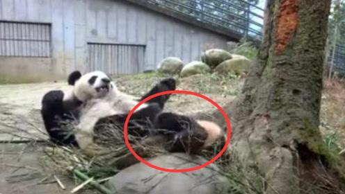 熊猫妈妈睡醒找不到娃,起身看到在屁股底下,网友:这妈心真大!