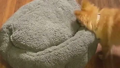 狗子看见一个毛绒绒的东西,观察了很长时间,没想到里面却出现了一个小狗