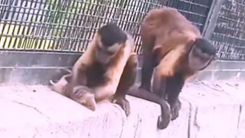 老鼠做梦也没有想到,居然被两个猴子捉住了,被折磨的怀疑人生啊!