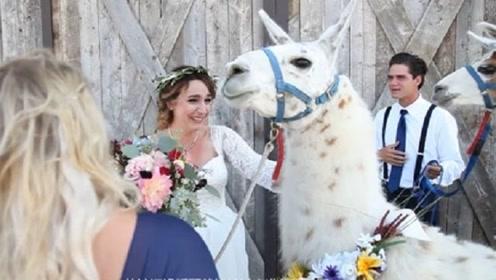 日本酒店推出特殊婚礼服务,用羊驼来充当花童,这方式不怕新人有意见?