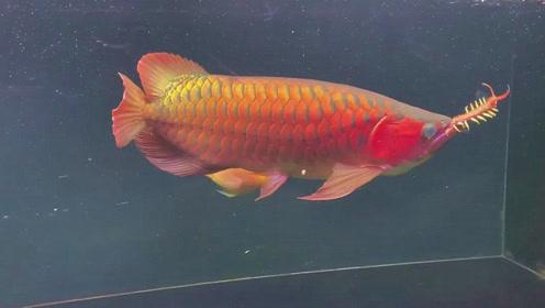 这极品红龙鱼太会吃了,叼着大蜈蚣慢慢享受,结果真是让人开眼了