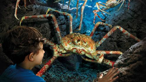 """世界上""""最大""""的螃蟹,身长可达4.2米,人送外号""""杀人蟹"""""""
