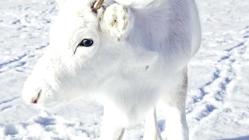"""科普:那些美丽的""""白色幽灵"""",自然界中罕见的白化生物!"""