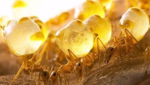 最伟大的蚂蚁,放弃自由,甘愿当人体储蜜罐,为族群奉献生命
