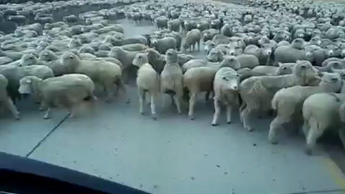 上万只绵羊过马路,不料一辆小货车直线冲过来,下秒让人难以相信