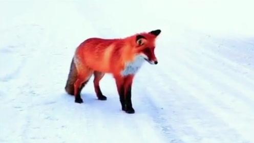 苍茫雪色中惊现赤狐觅食 神态悠闲画风十分迷人