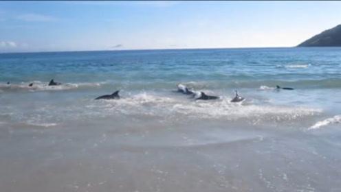 30头海豚同时搁浅在沙滩上,危急关头下人类会如何做,镜头拍下罕见瞬间