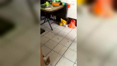 老鼠居然把猫追得满地逃窜 世道真是变了!