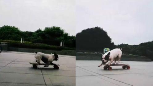 一只滑板玩的特别溜的狗子,说好的不成精呢