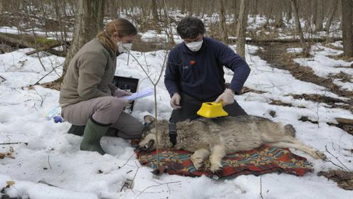 与世隔绝30年后,切尔诺贝利成为狼群的天下
