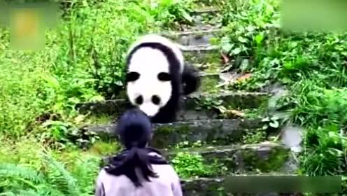 恐高大熊猫不敢下台阶 对管理员求抱撒娇