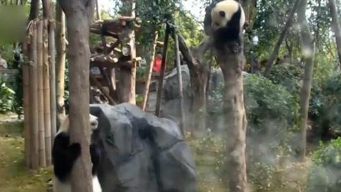 熊猫爸爸爬树熊儿子跟着旁边在学,这就是身传言教吧?