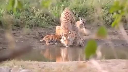 母虎带着小幼崽出外觅食,体型悬殊,走起路来太可爱了!