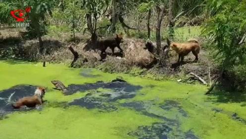 四只汪星人在水塘中围攻大蜥蜴 场面极其激烈