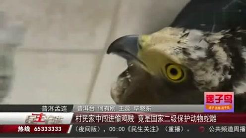 偷鸡贼闯进村民家里再一查看:竟是国家二级保护动物蛇雕