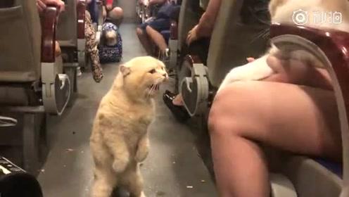 """""""橘皇""""坐公交车时,发现车上还有另一只猫后!"""