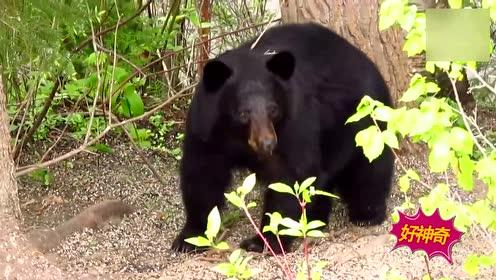 熊在俄罗斯只能当宠物 赢球后还得得表演吹喇叭