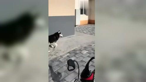铲屎官把东西砸向哈士奇,还说:咋滴,不服啊!