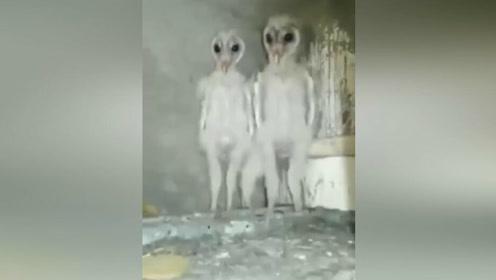 网友在自家阁楼发现一窝猫头鹰雏鸟,乍一看还以为外星人入侵了