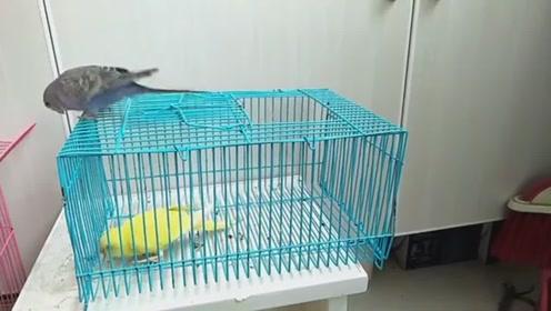 两只鹦鹉总是行动一致, 面对一个空笼子却不一致了, 智商真不一样
