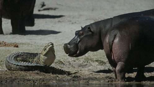 鳄鱼和海马,为什么能共处一个池塘里不打架?