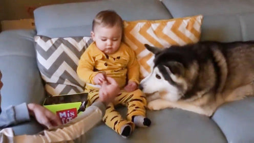 爸爸让宝宝给哈士奇喂狗粮,宝宝的举动让爸爸笑得趴在沙发上