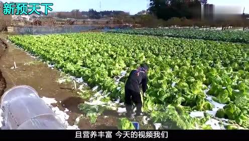 在日本是如何种植大白菜的,你想知道吗?一起来见识下!