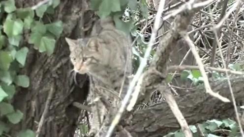 """自然传奇:饿货山猫捕食技术高超,田鼠成为""""心头好"""""""