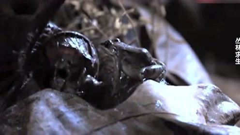 自然传奇:蝙蝠守候多时只为捕捉青蛙,残酷且不辞辛苦