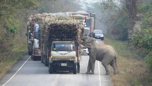一辆运输甘蔗的货车正在缓缓行驶,大象看到后,不可思议发生了!
