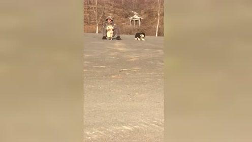这两只狗也太胖了吧,委婉点就是,长得蓬松