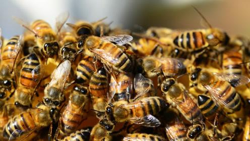 大胆科学-如果蜜蜂从世界上消失了?