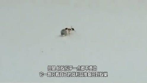 一只蚂蚁到珠宝店偷东西,举起钻石就跑,镜头记录全过程!