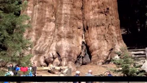实拍世界上最大的树,它刚发芽的时候,中国正式处于西周时期,霸气!