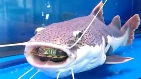 男子湖边放生乌龟,入水瞬间竟被大鱼一口吞