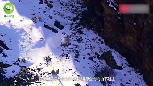 岩羊遭到雪豹追击,危险时刻纵身跳下悬崖,场面相当震撼