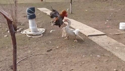 公鸡和大鹅打架,谁能更胜一筹?网友:想起那些年被支配的恐惧!