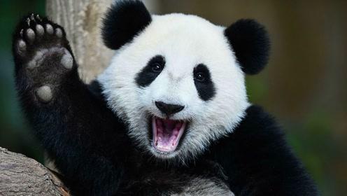 很多国家都以租借大熊猫为荣,怎么这只大熊猫却被退回来呢?