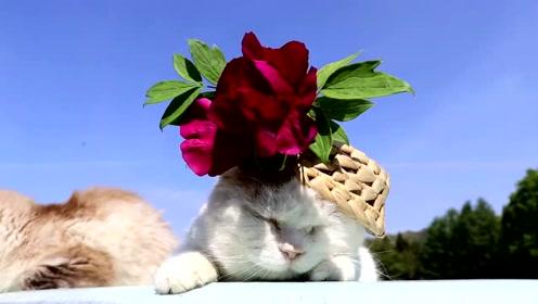 日本超级网红猫,头戴大红花扮名媛,慵懒晒着日光浴