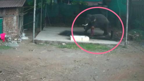 男子正在给大象洗澡,下一秒直接被大象压在屁股底下,估计没救了