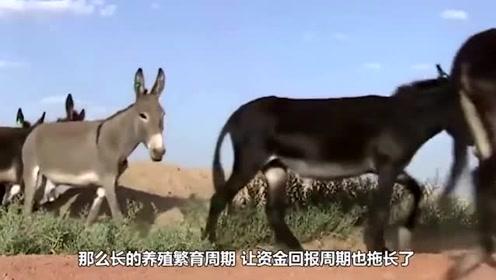 一头驴能卖上万元,为什么农村却没有人养驴?厉害