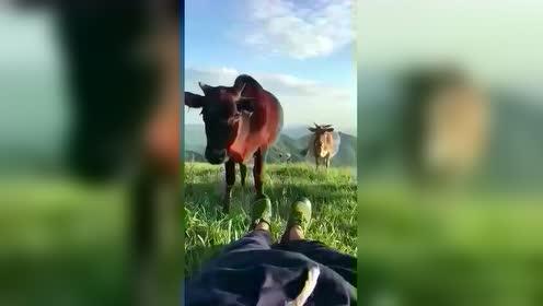 真想这样躺在草地放着牛,没有压力,没有社会套路