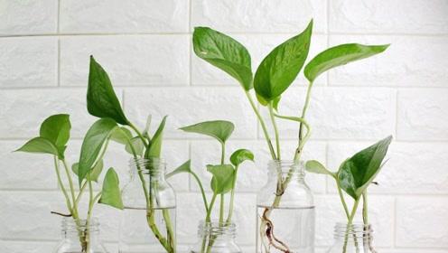 如何把土培绿萝转换成水培,你只需要按这4个步骤操作,轻松解决