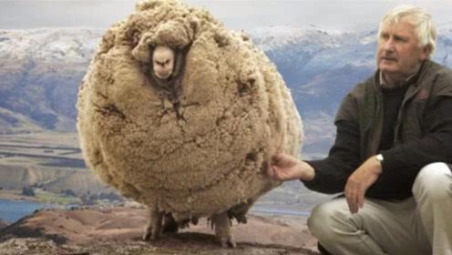 这只羊太机智了,为躲避剪羊毛逃进山洞,直到6年后被人发现了