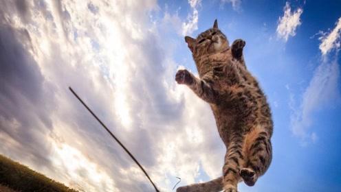 猫咪摔不死真的是因为有九条命吗?看看放慢十倍的镜头是怎么回事