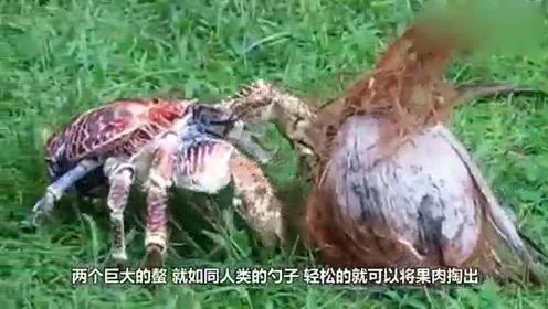 会开椰子的椰子蟹,破坏力真是太可怕了,一招夹开椰子!